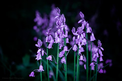 Sony a7 50mm (Jasrmcf) Tags: ilce7 sel50f18f sonya7 sony sonyalpha dof detail depthoffield delicate amazing smooth blur bokeh bokehlicious bokehgraph garden nature ngc greatphotographers purple flowers flower petals bluebottle