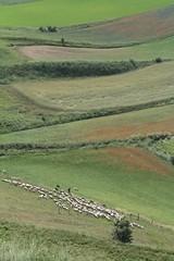 Downhill (porrounum) Tags: castelluccio castellucciodinorcia gregge pecore pastore campagna flock sheep grass landscape dog shepherddog