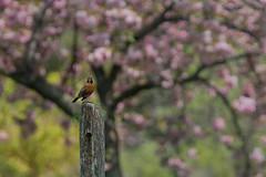 Robin & Cherry (Howard L.) Tags: canonef135mmf2lusm doublelayercherryblossom ilce7rm2 queensbotanicalgarden robin sonya7rii