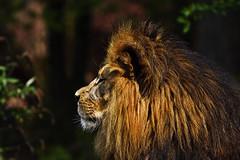 Löwe (Michael Döring) Tags: gelsenkirchen bismarck zoomerlebniswelt zoo löwe lion afs200500mm56e d7200 michaeldöring