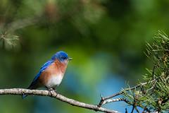 Eastern Bluebird (rob.wallace) Tags: spring 2017 huntley meadows park alexandria va perched eastern bluebird