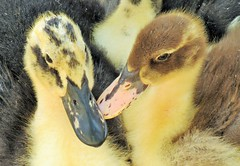 Ducklings Bills  Explored (09/05/2017) (seanwalsh4) Tags: ducklingsbills windmillhillcityfarmbristol seanwalsh nature birds young ducks together canon bristol bedminster cuddly soft cute nice delicate waterbirds pinkforagirl blueforaboy smile funny humour sweetness sweet