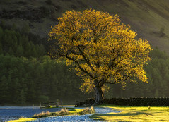 Bathed in Light (Tracey Whitefoot) Tags: tracey whitefoot 2017 lake district cumbria lakes national park buttermere tree light evening dusk bathed path gold golden