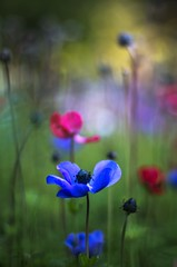 palette (ΞSSΞ®®Ξ) Tags: ξssξ®®ξ pentax k5 colors bokeh smcpentaxm50mmf17 italy spring 2017 plant outdoor depthoffield anemonecoronaria red blossom purple green light fabriano marche appennini nature flowers meadow grass pov perspective dof flower