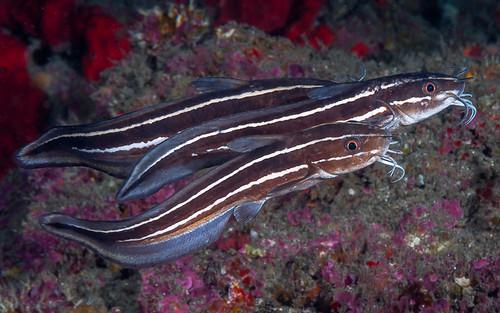 Striped Catfish - Plotosus lineatus