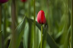 Tulipe rouge (VdlMrc) Tags: nikon d7100 nikkormicro60mm montréal québec canada jardinbotanique printemps nature spring fleur flower tulipe tulip rouge vert red green color couleur
