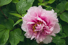Pretty in Pink (jessp.) Tags: bethlehem canont4i drizzling earthy flowers garden green leaves lehighcounty lehighvalley may nature outdoors pennsylvania peonies peony petrohoy pinkflower rain rainy showers spring walks wildlife