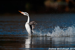 Synchrony (Let there be light (A.J. McCullough)) Tags: birds grebe clarksgrebe courtship oregon klamathfalls dancinggrebes putnamspoint