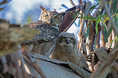 Great Horned Owl and Owlet (wlb393) Tags: greathornedowl owlet birds sycamoregrove livermore s8k8263