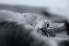Truta, The Cat (ricdovalle) Tags: cato cat preto branco black white portrait animal sony alpha a6000 ilce6000 sigma