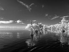 Blue Cypress Lake (Ed Rosack) Tags: cypress usa landscape blackandwhite infrared calm cloud water sky bluecypresslake ©edrosack lake tree centralflorida florida bw cloudy ir verobeach