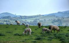 Sheep grazing on the Shropshire Hills (Baz Richardson (now away until 27 May)) Tags: shropshire shropshirehills sheepgrazing farmland pasture sheep