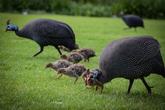 Guinea fowl (sabinesie) Tags: guineafowl vogel südafrika southafrica sudafrica kapstadt capetown perlhühner sabinesie
