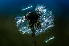 Starting on a journey (marionrosengarten) Tags: dandelion glitter sun parachutes nature plant greeen startingonajourney flickrmeetingberlin seeyou nikon tamron90mmf28divcmacro 2017