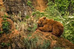 Urso-pardo (dragoms) Tags: cabárceno fauna ursopardo ursusarctosarctos eurasianbrownbear urso bear spain marinacano workshop dragoms captive cativeiro