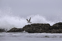 Pilgrimage to Tofino-Moving on (Chantal Jacques Photography) Tags: pilgrimagetotofino movingon timetogo wildandfree seagull bokeh gull