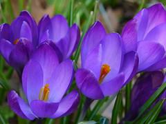P1040656 (Osirisba2112) Tags: purple crocus spring lumix