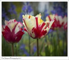 Tatty Tulips (Paul Simpson Photography) Tags: tulips nature flower photoof photosof imagesof imageof paulsimpsonphotography naturalworld petals normanbyhall normanbypark flowers gardens gardenphotography sonya77 may2017 flowerphotography