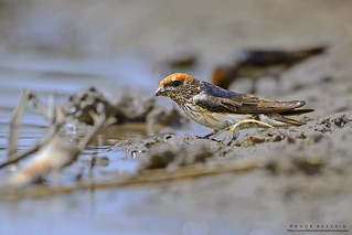 Streak-throated swallow