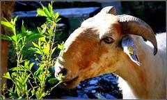 """hmmm, ça change du muguet... de """"petite beauté"""" ! (Save planet Earth !) Tags: chèvre brigue sud nikon"""
