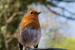 The Friendly Red Breast (richardsolway) Tags: robin red bird nature feathers friendly