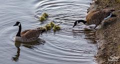 Bedtime (Selkii's Photos) Tags: birds brantacanadensis california canadageese canadagoose goose lasgallinasponds lasgallinasvalleysanitarydistrict marsh pond sanrafael unitedstates water wetland wetlands