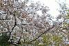 Prunus × yedoensis 'Yedoensis' (Masaoki Hirai) Tags: trioplanf28100 prunus cerasus rosaceae cherryblossoms