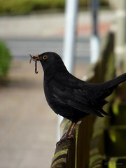 Amsel / blackbird  ♂ (3) (Ellenore56) Tags: 25042017 amsel blackbird ouzel merle merl commonblackbird schwarzdrossel turdusmerula drosseln singvogel vogel bird ♂ hahn amselmännchen male songbird singingbird futter food tier animal tiere animals lebewesen creature detail moment augenblick sichtweise perception perspektive perspective reflektion reflection reflexion farbe color colour licht light inspiration imagination faszination magic natur nature panasonicdmctz61 ellenore56 regenwurm wurm earthworm worm