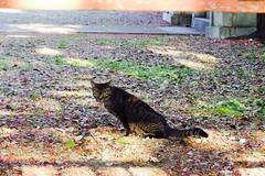 Today's Cat@2017-04-24 (masatsu) Tags: cat thebiggestgroupwithonlycats catspotting pentax mx1