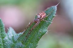 Baldachinspinne - Deckennetzspinne (Linyphiidae) (AndreLo2014) Tags: baldachinspinne deckennetzspinne linyphiidae macro sigma sony makro spinne spider a77ii sigma105mm