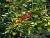 Psammisia sp., Ericaceae
