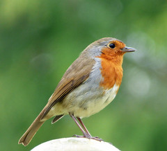 Robin poses in Yorkshire Sculpture Park (Barrytaxi) Tags: