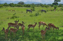 impala (Cybergabi) Tags: tanzania africa 2016 mikumi national park safari impala