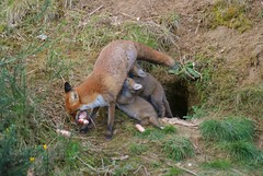 Breakfast! (Michelle O'Connell Photography) Tags: fox wildlife nature urbanfoxcub foxcubsfeeding foxkits michelleoconnellphotography fantasticnature
