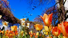 Tulip fly-over (Steve Burgess1) Tags: tulips flowers spring birds pigeons park vancouver