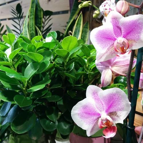 #Ficus #Phalaenopsis   -20!!!!!!! ##Primavera #Spring #Printemps #Kevätfloristeria #fleuriste #florist #floristi #флористика #kukkakauppa   #vilaseca #cascantic #plaçadevoltes #lapineda #costadaurada #costadorada #portaventura #salou #cambrils #reus #tarr