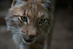 20130609-00039.jpg (lars.begert) Tags: johnskleinefarm eurasischerluchs lynxlynx mojak