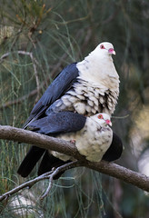 Love is in the air (christinaportphotography) Tags: whiteheadedpigeon columbaleucomela pigeon batemansbay nsw australia bird birds wild free courting mating love