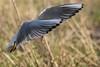 Hettemåke - Chroicocephalus ridibundus - Black-headed Gull - D8F_2229 (Viggo Johansen) Tags: hettemåke chroicocephalusridibundus blackheadedgull birds flying