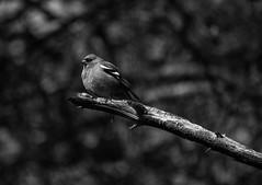 Chaffinch (MortenTellefsen) Tags: chaffinch bokfink blackandwhite bw norway norwegian svarthvitt nature bird birds fugl fugler artinbw blackandwhiteonly natur norsk canon