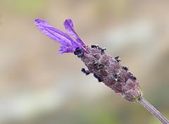 Lavanda (C.Frayle) Tags: lavanda flor flowers floración nature naturaleza nikon macro macrofotografía