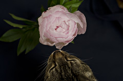 112/365 (moke076) Tags: 2017 365 project 365project project365 oneaday photoaday cat animal pet nosy tommy grey gray tabby kitty flower black background sniffing spring pink peony paeony nikon d7000