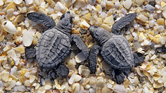 1258448 (nicodamechev) Tags: babies centralamerica chelonia coasts endangered marine mexico reptiles sand seaturtles small turtles vulnerable cc