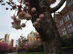 P4220143 (starimmak) Tags: uw cherry blossom