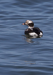Long-tailed Duck, Lincoln Co., OR_5631(1) (Patterns and Light) Tags: 2017 clangula hyemalis clangulahyemalis newport oregon 791 drake southjetty yaquina