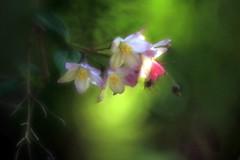 Flower fairytail (sibillahorst) Tags: flower bokeh