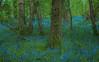Hampshire Bluebells (Geoffrey Radcliffe /radcliffe.geoffrey@gmail.com) Tags: geoffrey radcliffe hampshire uk bluebells woodland lightroom5 nikon d700 prime lens