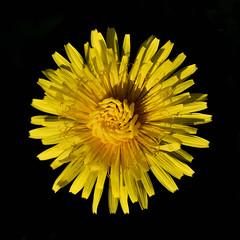 Dandelion Awakening (MJMPhoto II) Tags: dandelion yellow wildflower weed nature spring