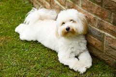 Poppy the Havanese (sidrog28) Tags: dog grass nikon havanese brick wall dogs garden doggy