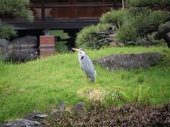 P1004217 (digitalbear) Tags: panasonic lumix gh5 sumida river kiyosumi garden eidai bridge tokyo japan sharehotel lyuro skytree fukagawameshi miyako yakatabune